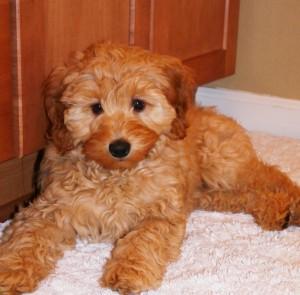 labradoodle, puppies, mini, red, Oregon, Washington, standard, for sale