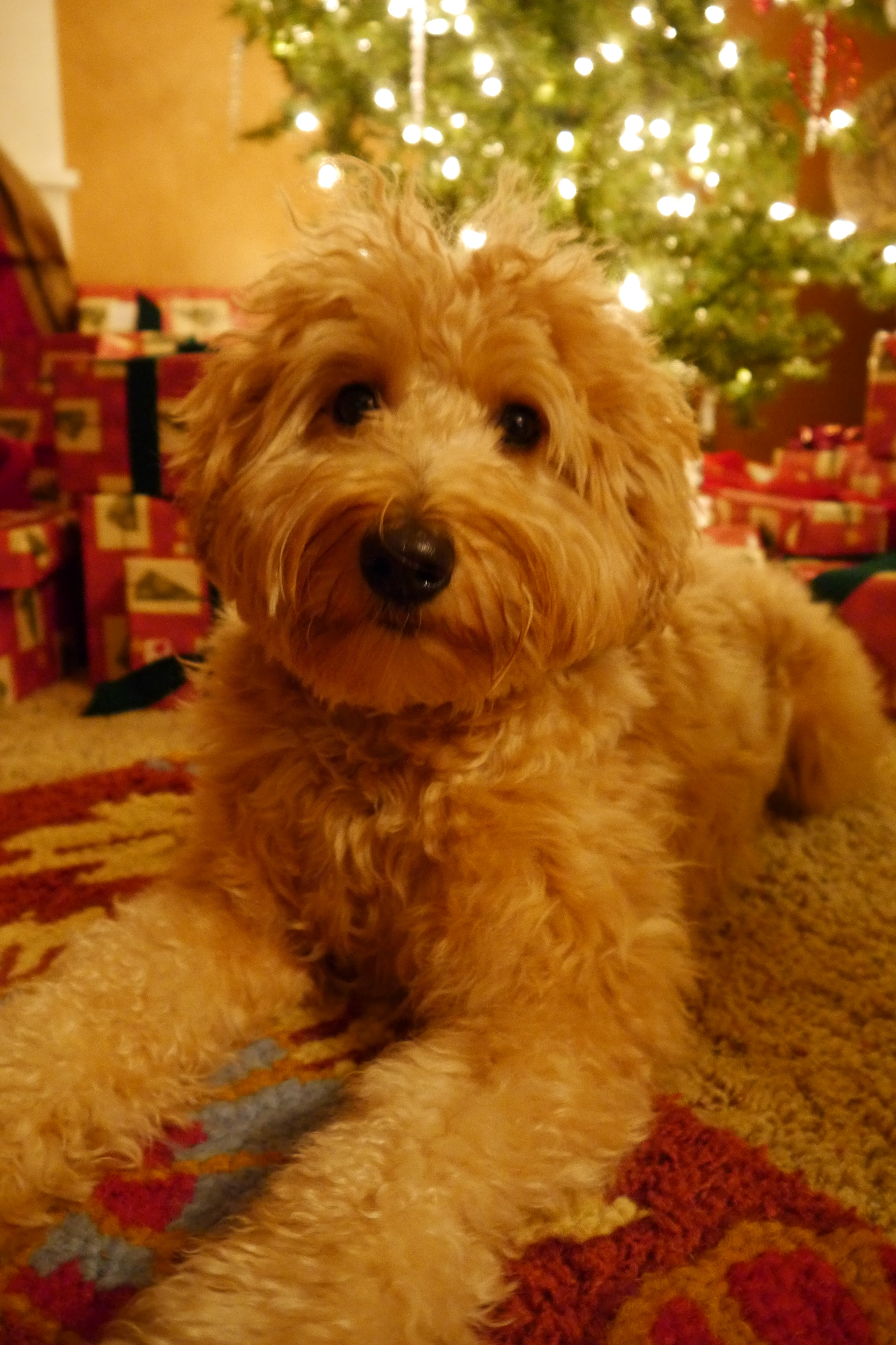 Labradoodle puppies in Oregon and Washington available near McMinnville and Salem.