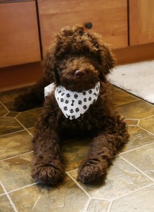Chocolate standard labradoodle puppy in Oregon, Washington and Idaho and California.