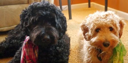 Genuine Australian Labradoodles raised in our home