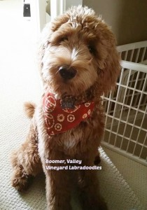 Molly, our standard Labradoodle, brings us puppies of all colors
