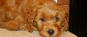 Labradoodle red puppies available from and Oregon breeder.