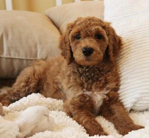 Standard cream large multi-gen labradoodles puppies in Oregon and Idaho and Washington.
