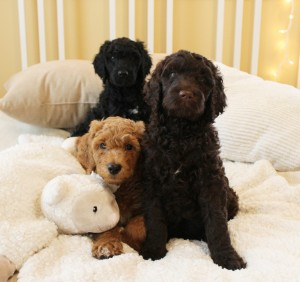 Australian labradoodle standard size puppies in Oregon and California.
