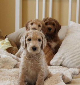 Australian labradoodle standard large puppies in Portland and Seattle.
