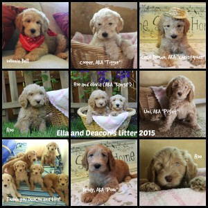 Australian Labradoodles reservations for puppies. Valley Vineyard Labradoodles.