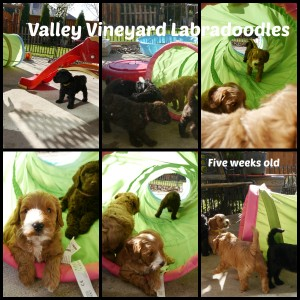 Labradoodle puppies in Oregon available now.