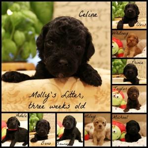 Labradoodles Oregon Washington Seattle Utah black puppies
