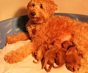Oregon labradoodle puppies guardian home