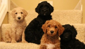 Salem Portland Seattle Vancouver Australian Labradoodle puppies breeder.