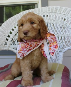 chocolate and black labradoodle puppies breeder in Oregon and Washington and Idaho.