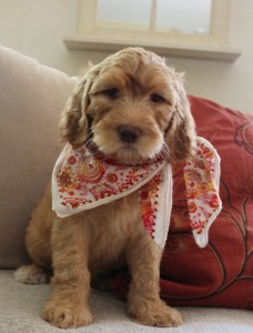 Red apricot large Australian Labradoodles in Redding and Portland Oregon.