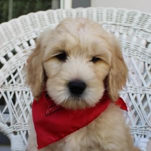 Oregon Australian Labradoodle breeder puppies available.