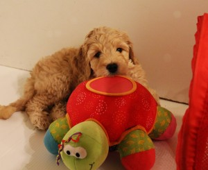 Labradoodle puppies available Tacoma Seattle