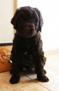 Labradoodles standard size puppies available now