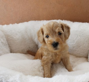 Labradoodle puppies breeder McMinnville Otegon.