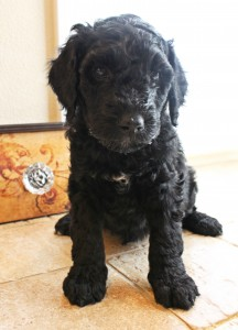 Labradoodles available in Idaho, Portland, Seattle.