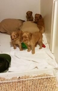 Australian Labradoodle puppies available in Oregon and Seattle Washington.