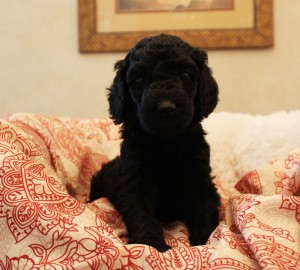 Australian Labradoodle puppies Denver Dallas Las Vegas