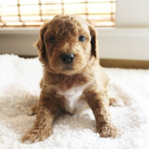 cream Australian labradoodle puppies in McMinnville and Salem Oregon and Portland.