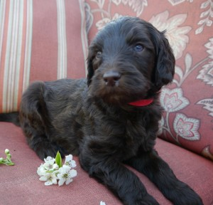 Chocolate and cream labradoodle puppies in Oregon and Washington available now.