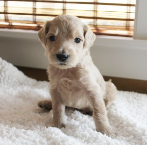 Australian Labradoodle puppies available in Salem Oregon and Portland.
