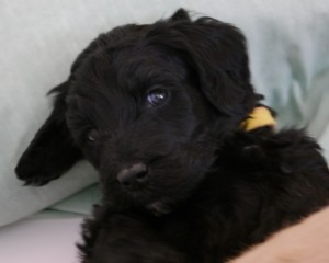 labradoodle puppies available in Oregon.