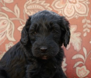 Labradoodle puppies in black and brown and cream colors in Oregon.
