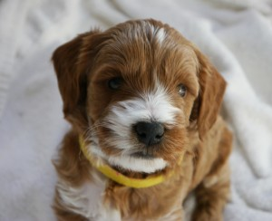 Australian Labradoodle puppies for sale from small Oregon breeder.