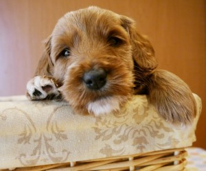 Standard size labradoodle puppies in black and cream.