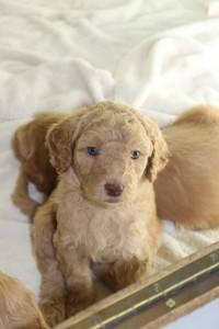 Oregon breeder of standard Australian Labradoodle puppies in McMinnville, Portland.