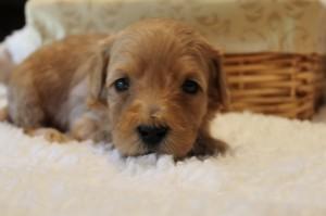 McMinnville, Seattle Washington labradoodle puppies, small breeder.