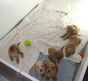 Australian labradoodle puppies in Oregon, Salem, McMinnville, standard, large.
