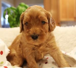 Australian Labradoodle puppies breeder Oregon Washington