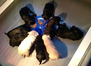 Australian labradoodle puppies available now Seattle
