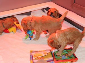 Labradoodle puppies available in McMinnville Oregon