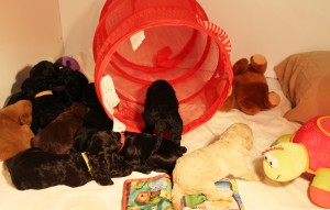 Labradoodle puppies available now in Oregon Seattle Portland.