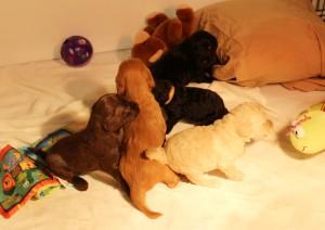 Australian Labradoodle puppies black multi-gen standard medium Seattle.
