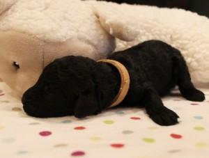 Australian Labradoodle puppies now Oregon Washington breeder.