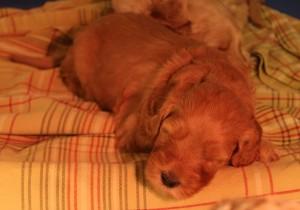 Australian Labradoodle puppy breeder Washington Oregon Utah.