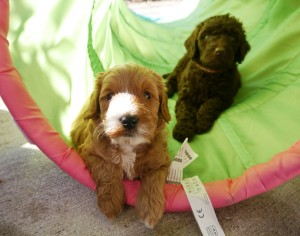 Australian labradoodle puppies, large standard size in chocolate and black colors in Oregon.