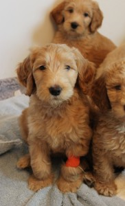 Labradoodle puppies in Washington and Portland Oregon.