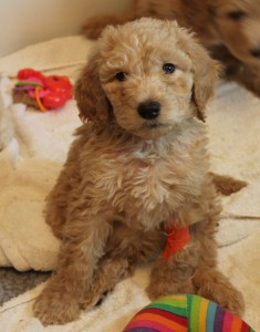 cream standard labradoodle puppy available in Oregon and Washington.