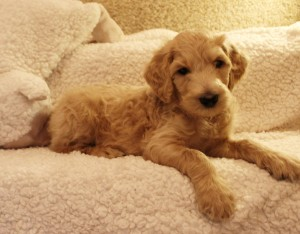Standard Large Australian Labradoodle puppies available now