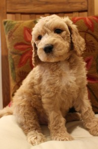 Cream labradoodle puppies in Redding and Seattle and Portland Oregon.