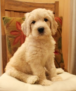 Australian Labradoodle puppies black, chocolate cream Seattle and Portland Oregon.