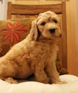 Australian Labradoodle puppies multi-gen fall reservations.