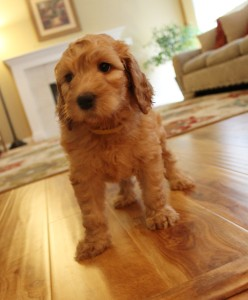 Black labradoodle puppies in Oregon and Seattle.