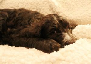 Seven weeks Zuzu tired