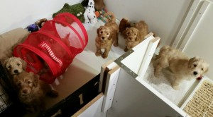Australian labradoodles puppies available in Redding California and Vancouver